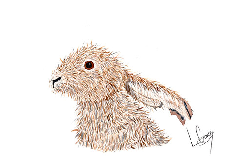 Lop-Eared Hare