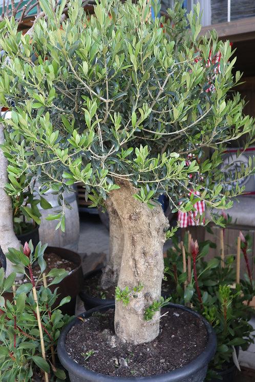 Olive Stamm