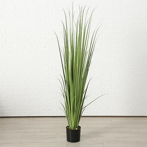 Topfpflanze Sofina