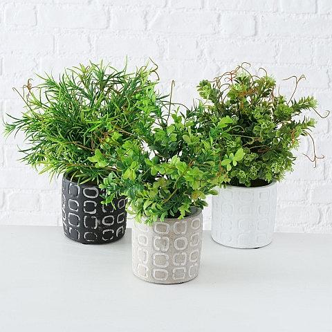 Topfpflanze Buchsbaum 3er Set