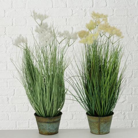 Topfpflanze Ikaria