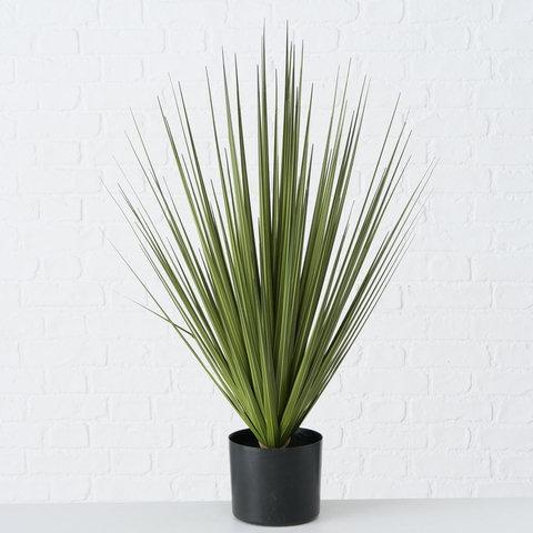 Topfpflanze Harisia