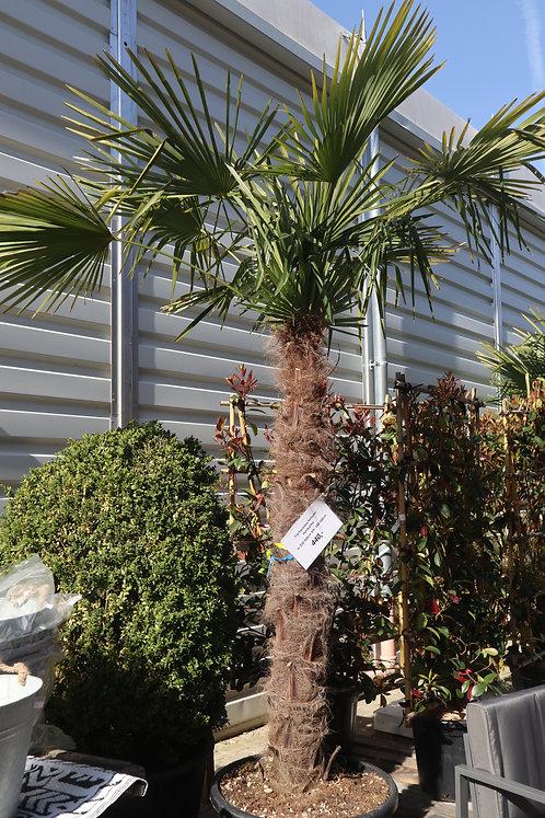 Trachycarpus fortunei, Hanfpalme