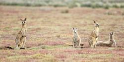 LB Kangaroos_B14X1938_Pambula_2x1