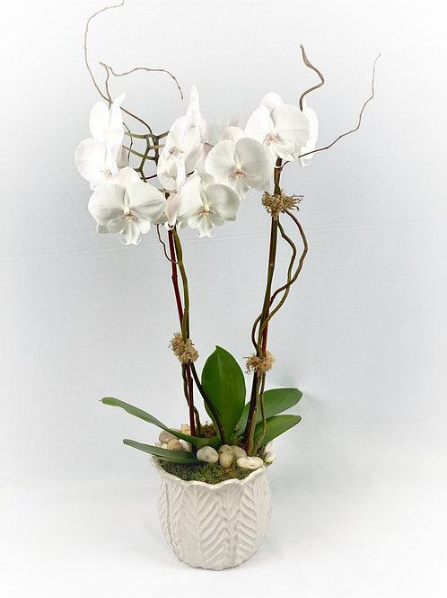 Orchid Plant in White Ceramic Vase starting at $90