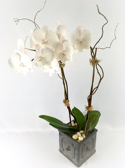 Orchid Plant in Garden Planter starting at $100