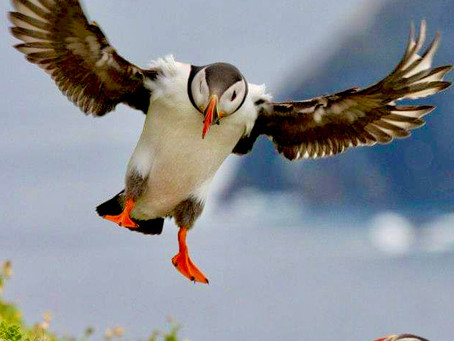 Puffins, puffins and more puffins