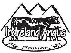 montana angus bulls