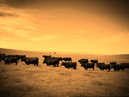 Pine Coulee Angus Bulls