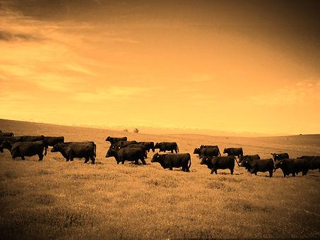 Pine Coulee Angus Bulls