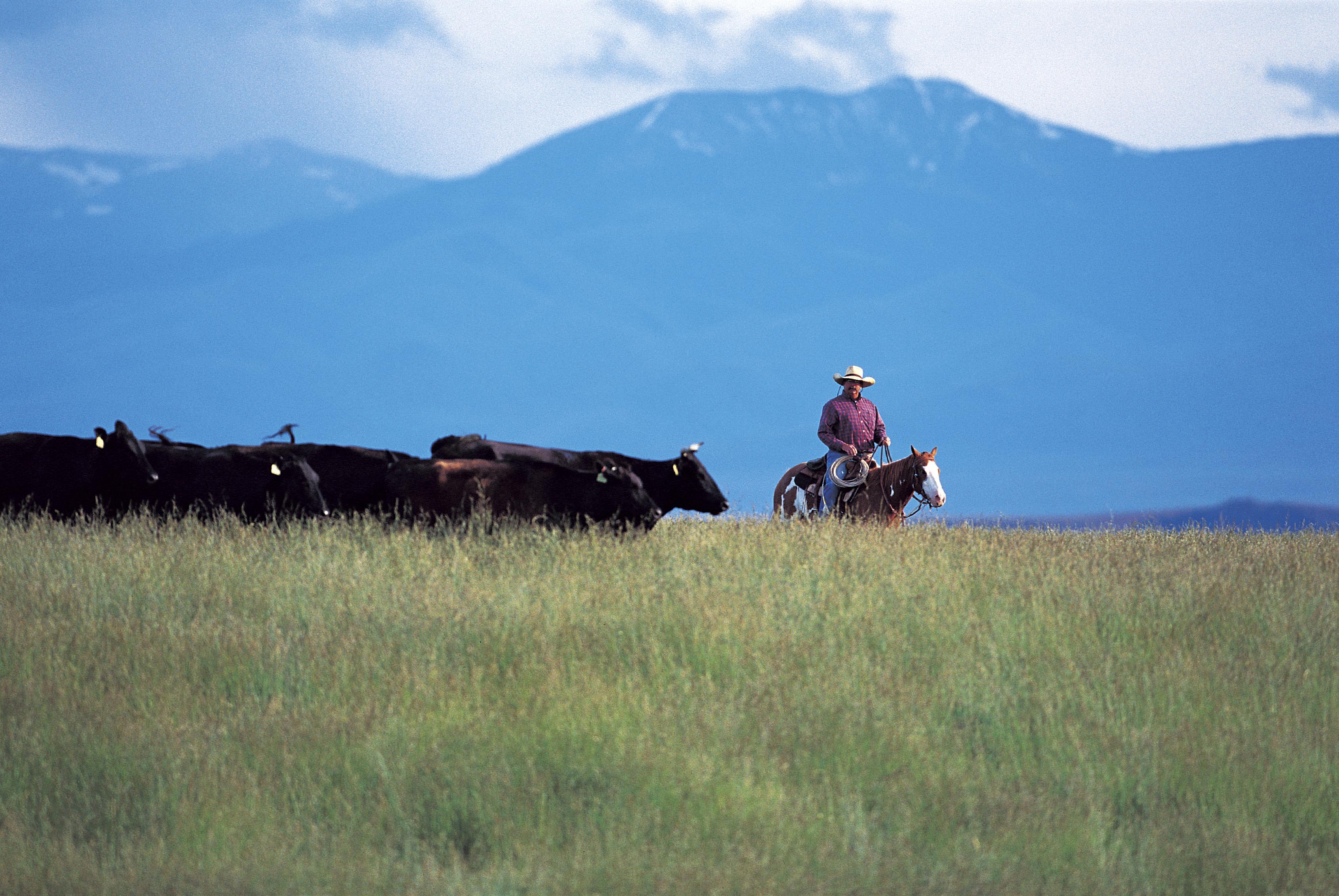 Montana grass fed beef