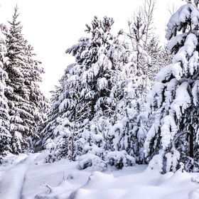 Snow covered fir trees in winter forest