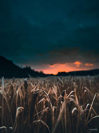 field sunrise1.jpg