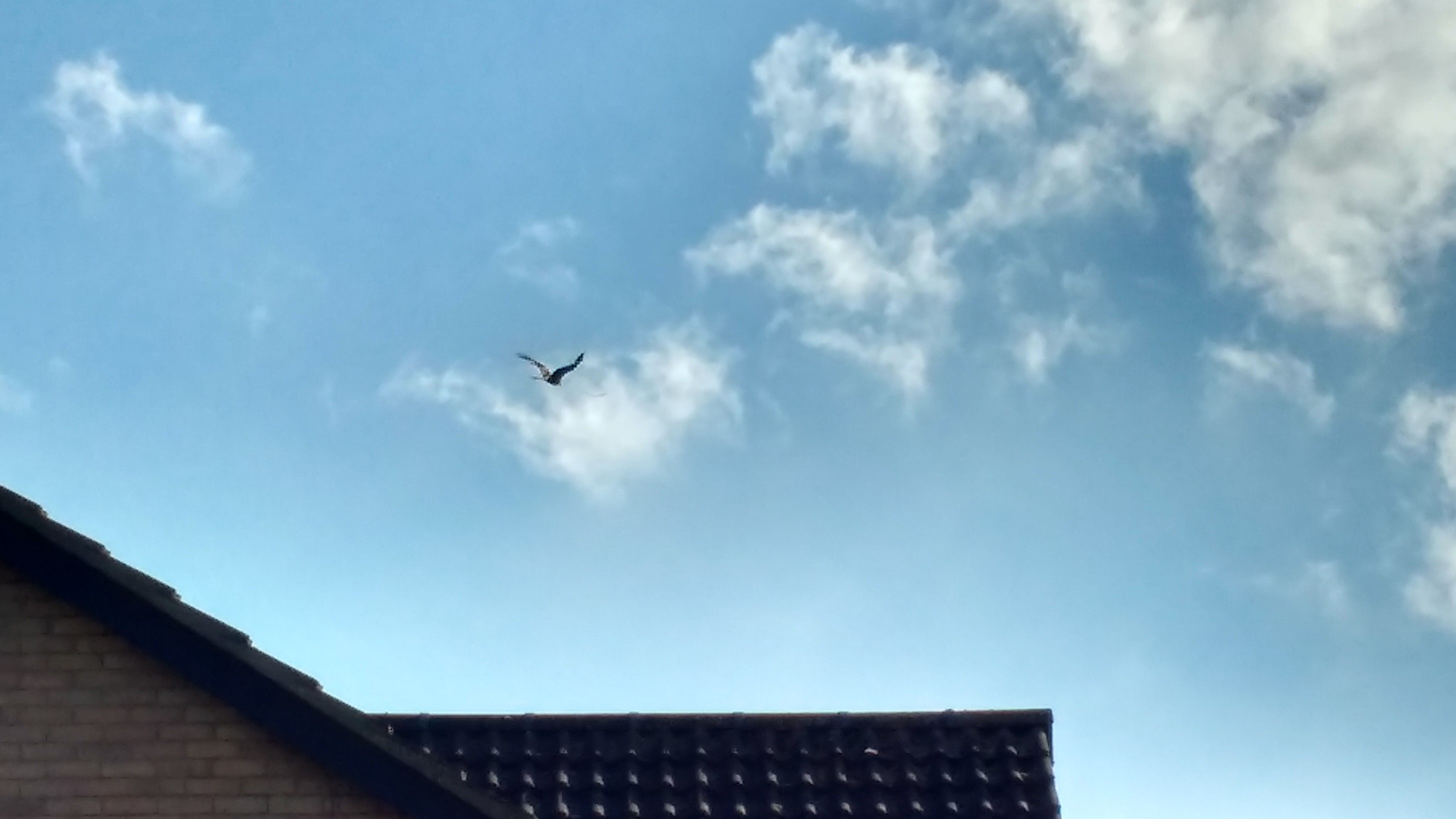 red kite over Highfields