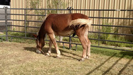 State fair horse grazing