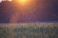 cornflowers-5352633_1920.jpg