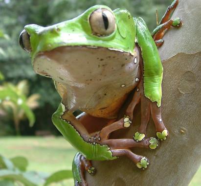 kambo_frog_Vertical.jpg