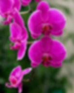 magenta-orchid-medley-anna-rumiantseva.jpg
