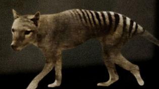 vergine keaton - the tasmanian tiger - le tigre de tasmanie
