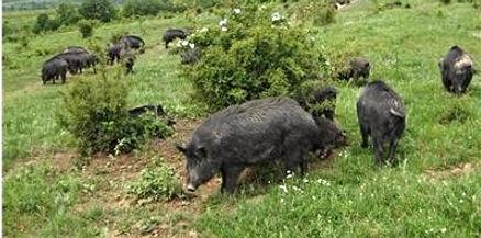 East Balkan pig