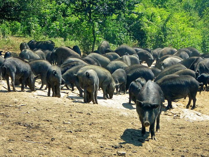 Източнобалкански свине