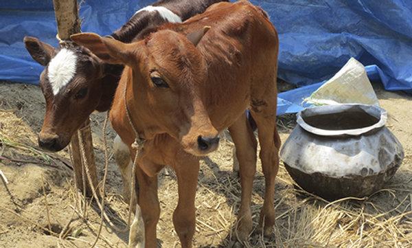 A brown female calf.