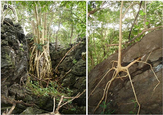 Genetic conservation in dry forest on limestone outcrops