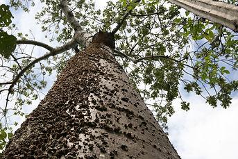 Cavanillesia arborea K. Schum. - barriguda
