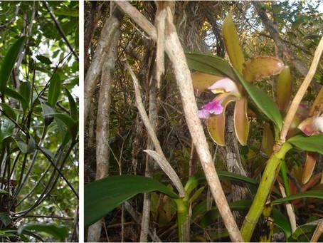 Orquídea ameaçada de extinção endêmica do nordeste brasileiro
