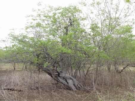 Caatinga: tão rica, tão negligenciada