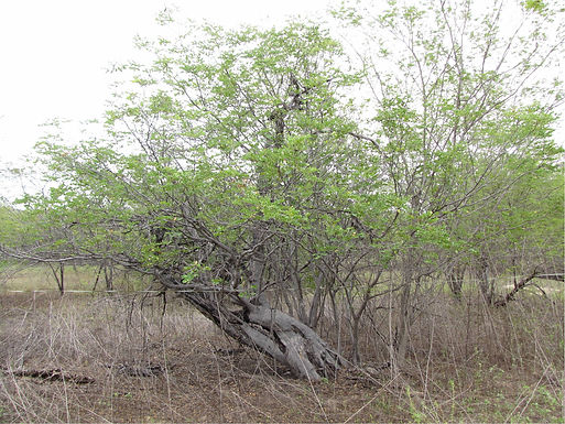 Intra and inter-species interactions in the Caatinga