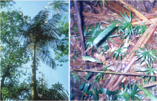 Recent colonization of the palm Euterpe edulis