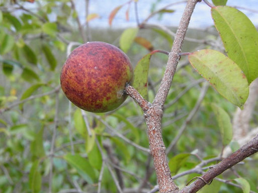 The biometric analysis of fruits and seeds as a tool to quantify the sub-estimated variability in the native tree species