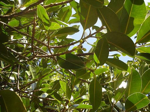 Genetic diversity of Calophyllum brasiliense (guanandi)