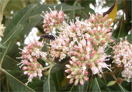 """Floral biology and pollinators of """"candeia"""""""