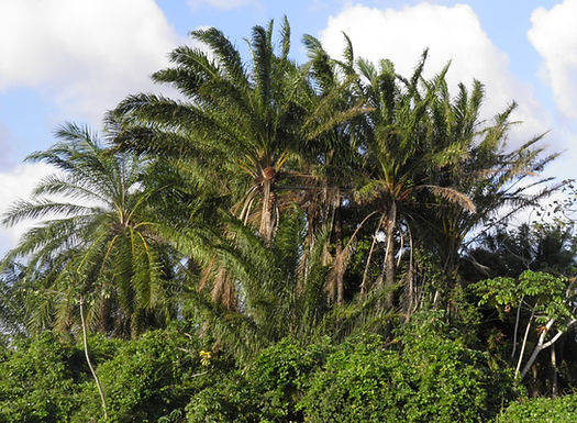 Elaeis guineensis: one of the world's leading sources of vegetable oil