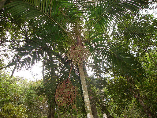 Palms: keystone species