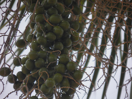 Ecologia reprodutiva da palmeira carnaúba