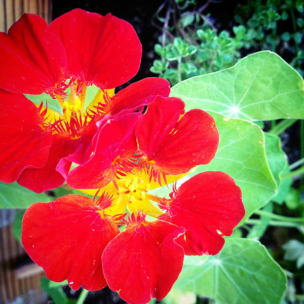 Grow Edible Nasturtiums!