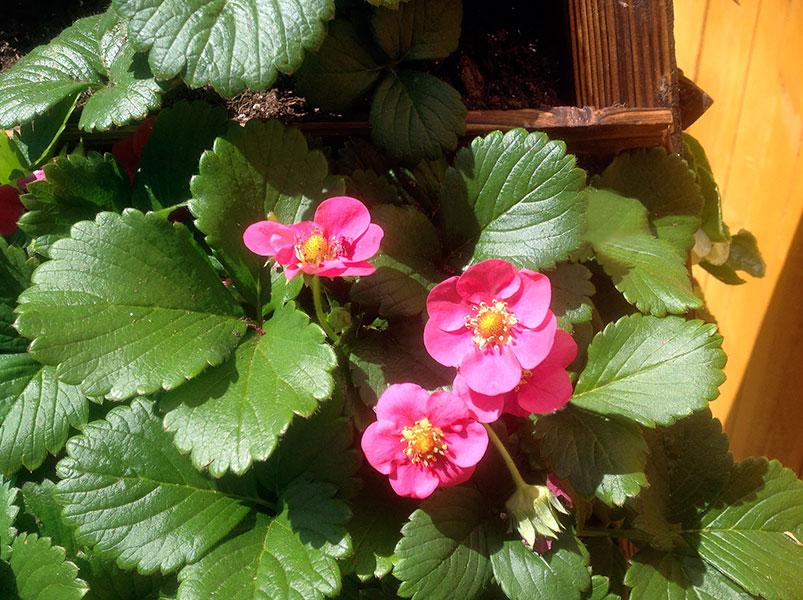 EarthTower Strawberry Blossoms