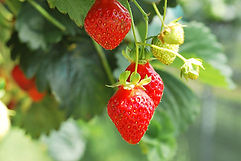 Earth Tower Strawberries