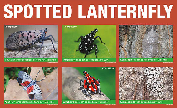Spotted Lanterfly lifecycle_2018.9.21.jp