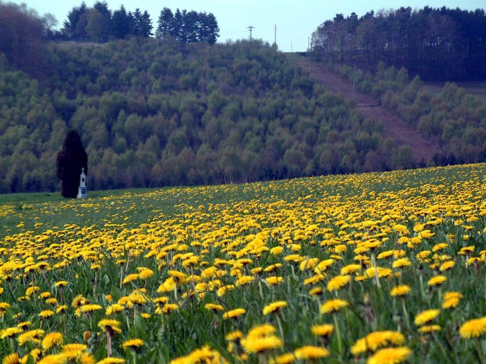 Butterblumen im Hochwald