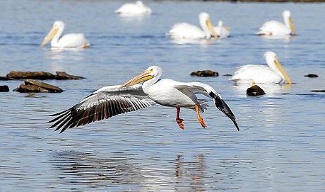 Tulsa White Pelican.jpg