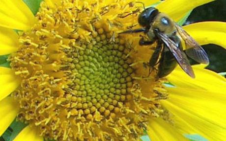 Bee on Sunflower 2.jpg