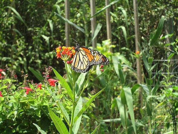 Monarch on Milkweed.JPG