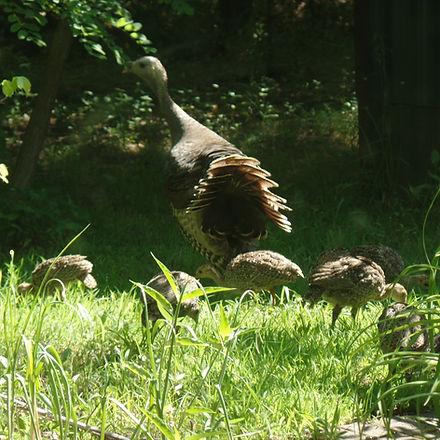 Turkey family 2.JPG