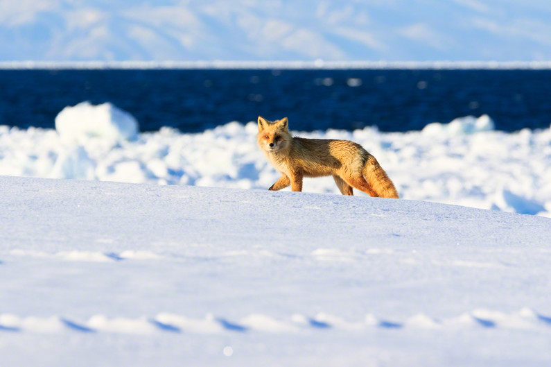 Seaside Fox