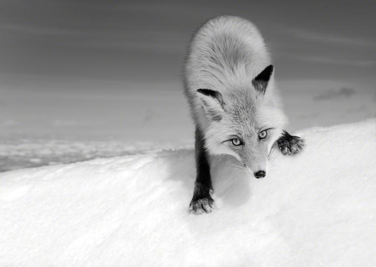 Mauntain Fox