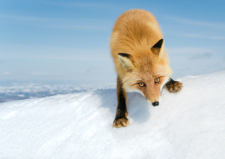 Mountain Fox